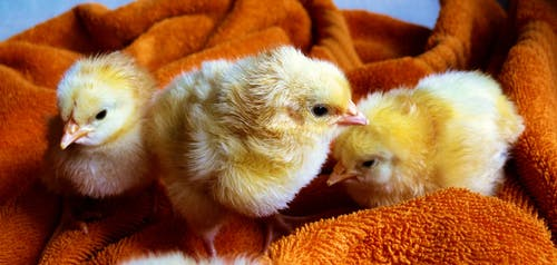 Why Pet Chickens Aren't the Same As Other Mammal Pets