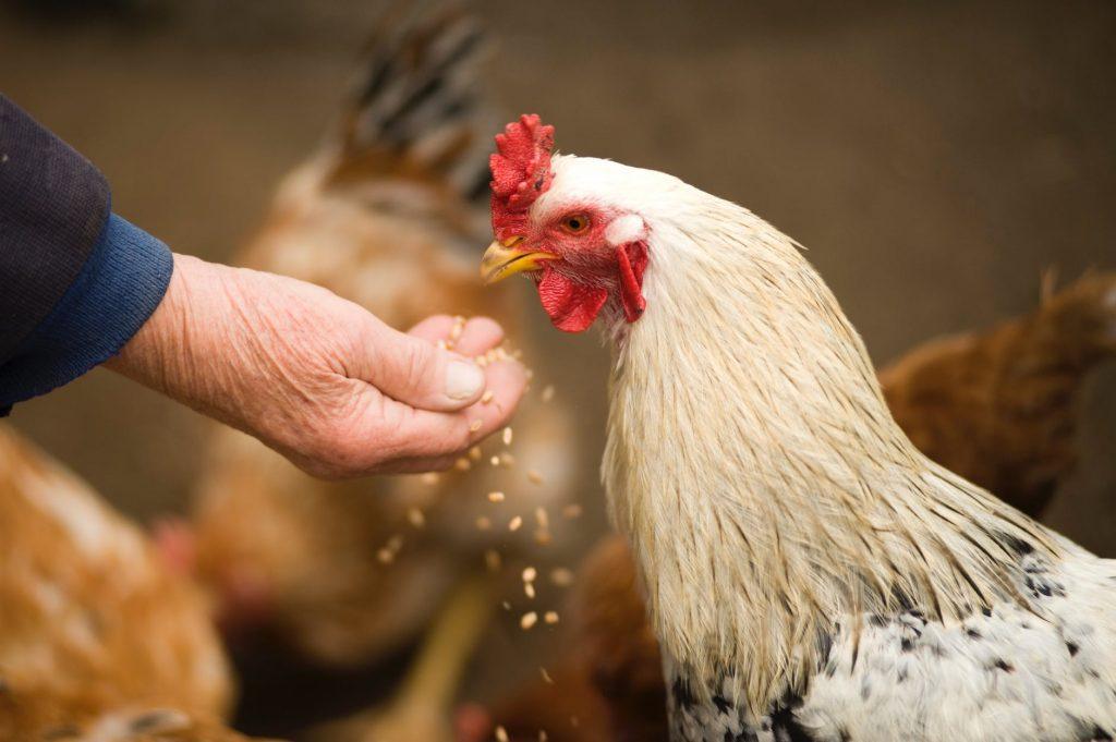 human feeding chicken